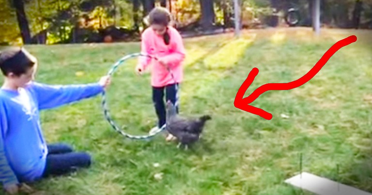 Now I've Seen Everything - A Trained Chicken Obstacle Course?!?