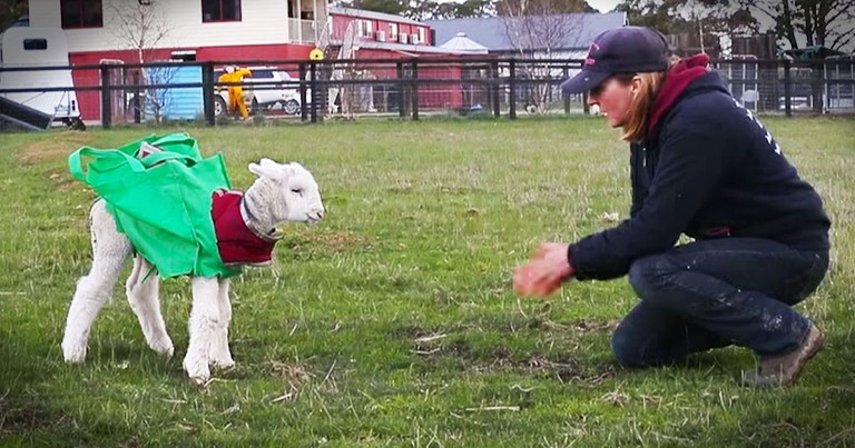 Injured Lamb's Transformation Will Leave You Cheering