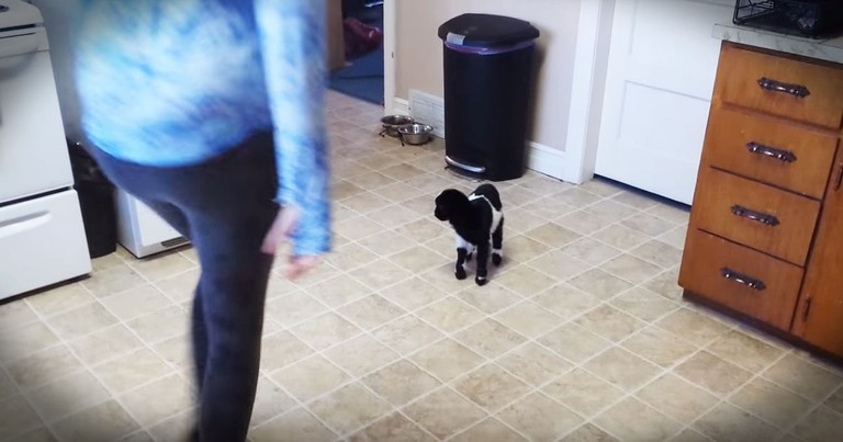 Baby Goat's Lesson On Hopping Will Jump Into Your Heart