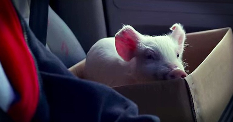 Tiny Piglet Goes From Lost To Forever Found In Precious Ad