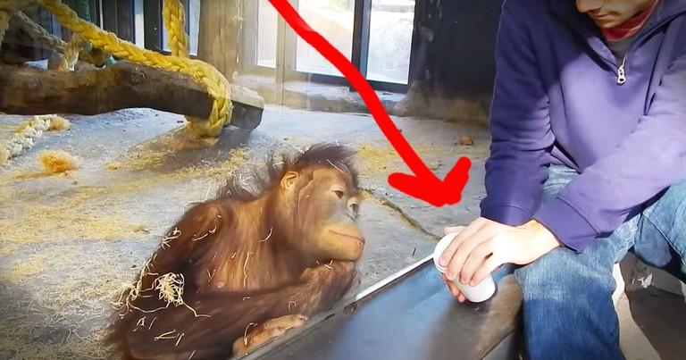 Orangutan's Reaction To A Magic Trick Is Adorable