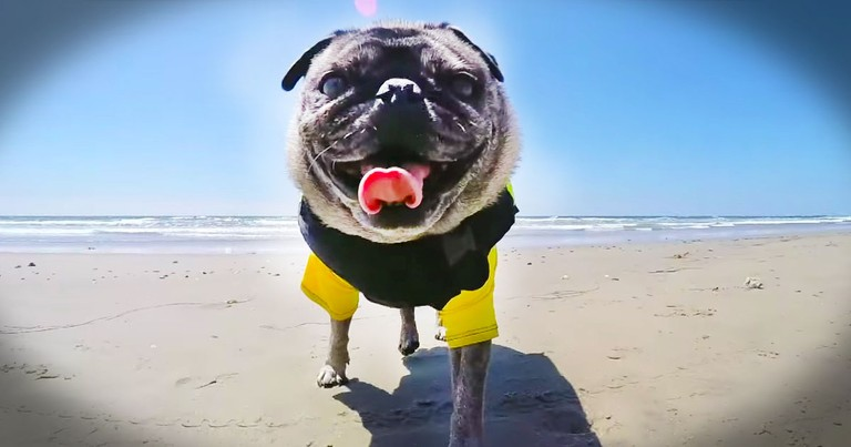 This Surfing Pug Is Too Much Fun To Miss