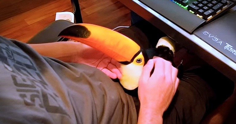 Toucan Snuggling Like A Dog Will Make Your Day!