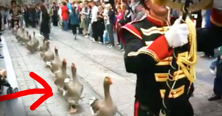 Goose Parade Is Too Cute To Miss