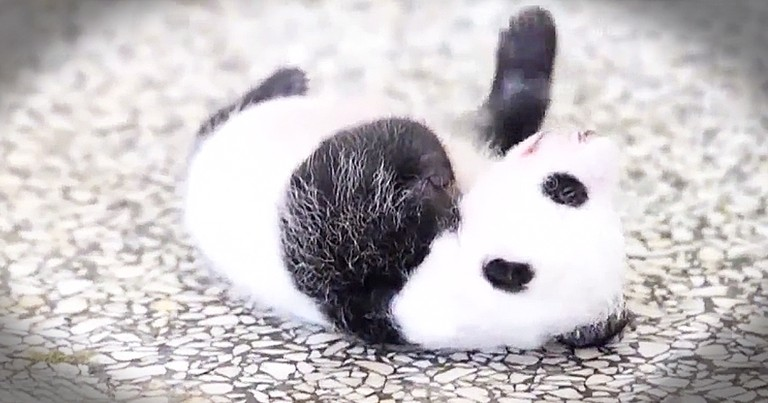 5-Week-Old Panda Adorably Tries To Roll Over