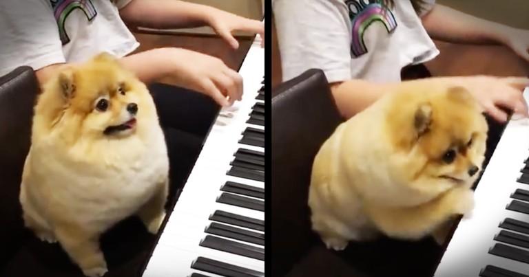 Precious Pomeranian Is One Talented Pianist