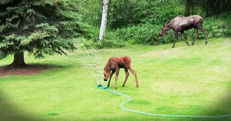 These Kind Neighbors Set Up The Cutest Play Time For A Baby Moose