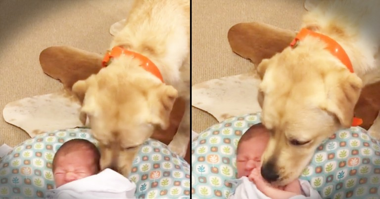 Sweet Labrador Is A Baby Whisperer