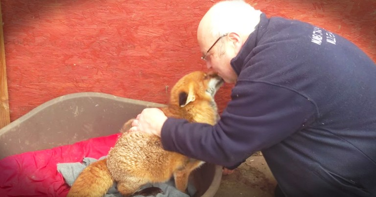 Fox Gives The Cutest Snuggles To Her Favorite Human