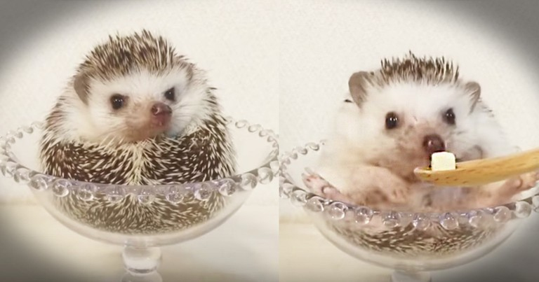 Just A Tiny Hedgehog Eating Some Cheese