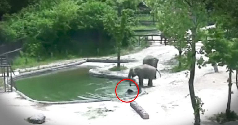 Elephants Work Together To Save Drowning Baby Elephant