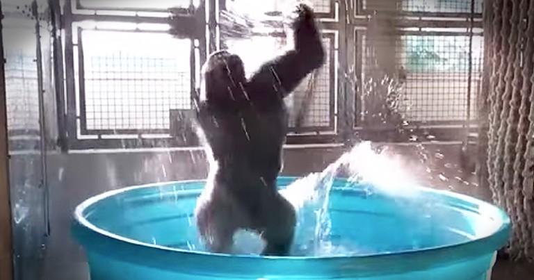 Gorilla Having A Blast In A Kiddie Pool Is Going Viral