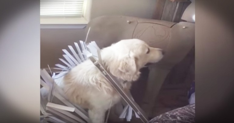 Hilariously Guilty Dog Avoids Eye Contact With Her Human