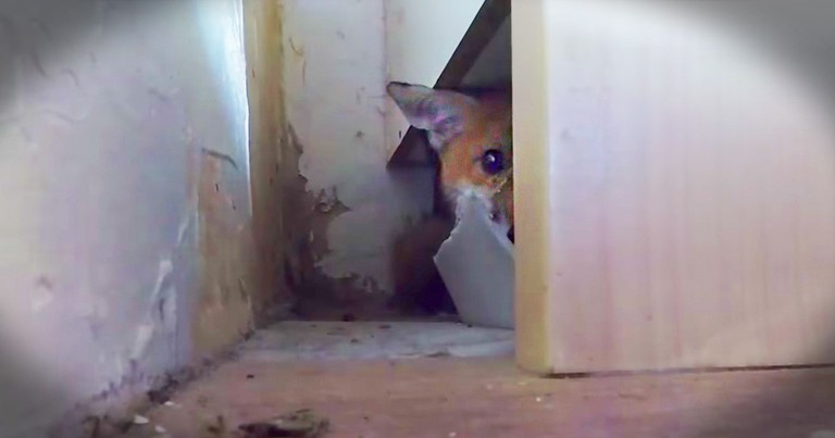 Tiny Fox Rescued In Middle Of The Night