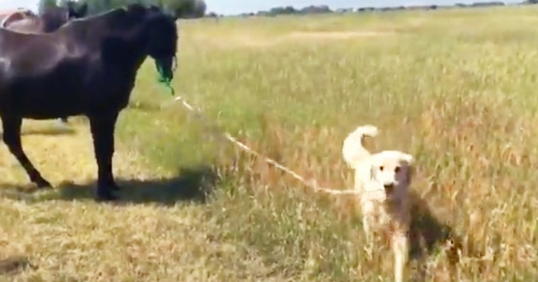 Dog Adorably Walks His Pet Horse