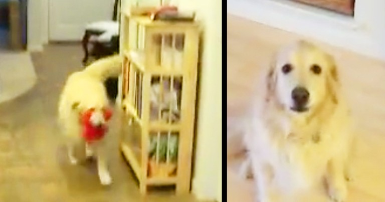 Smart Golden Retriever Cleans Up Toys On Command