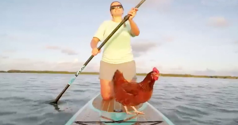 Hilarious Little Chicken Paddleboards With Owner
