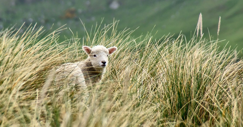 lost little sheep in tall grass Parable of the Lost Sheep