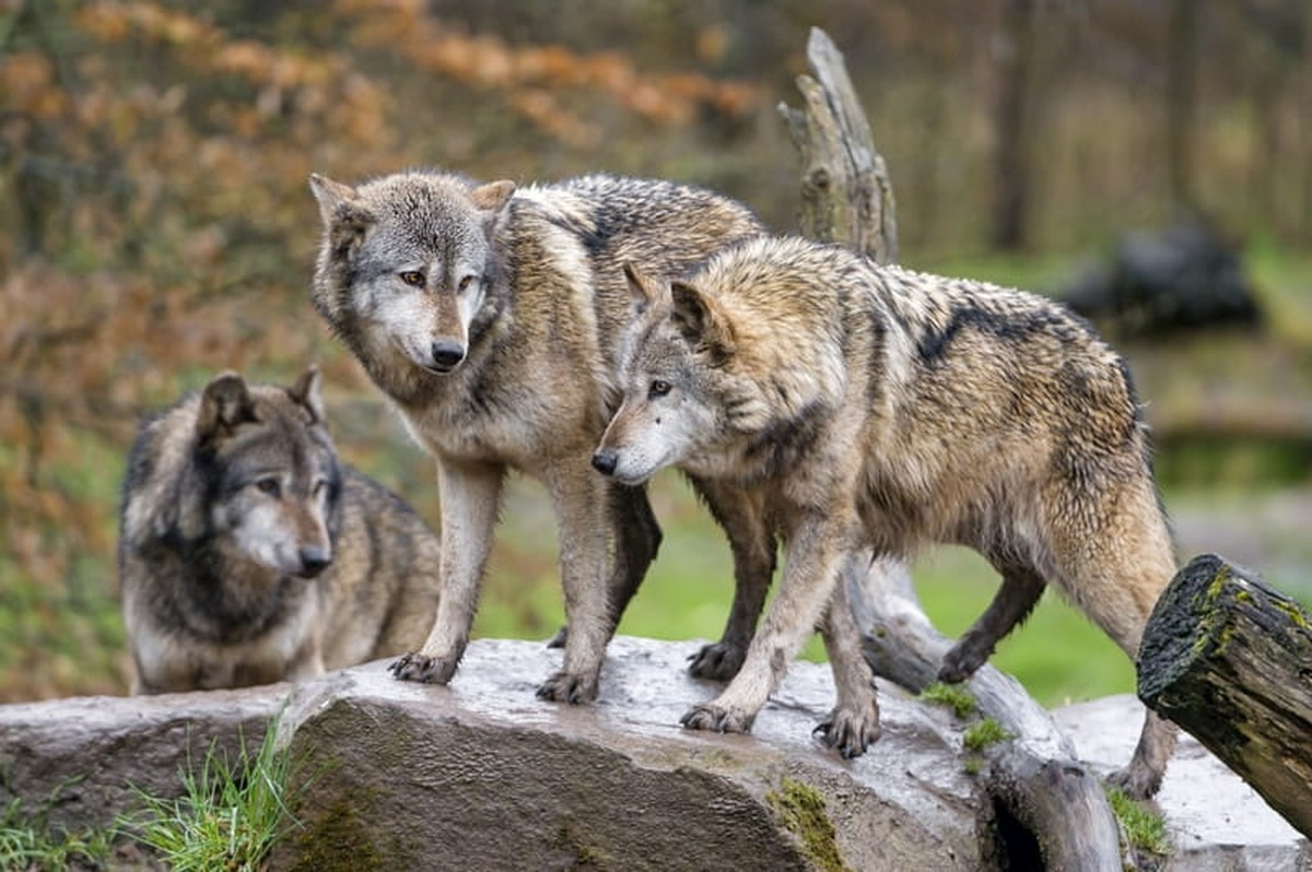 Bible Verses about Wolves