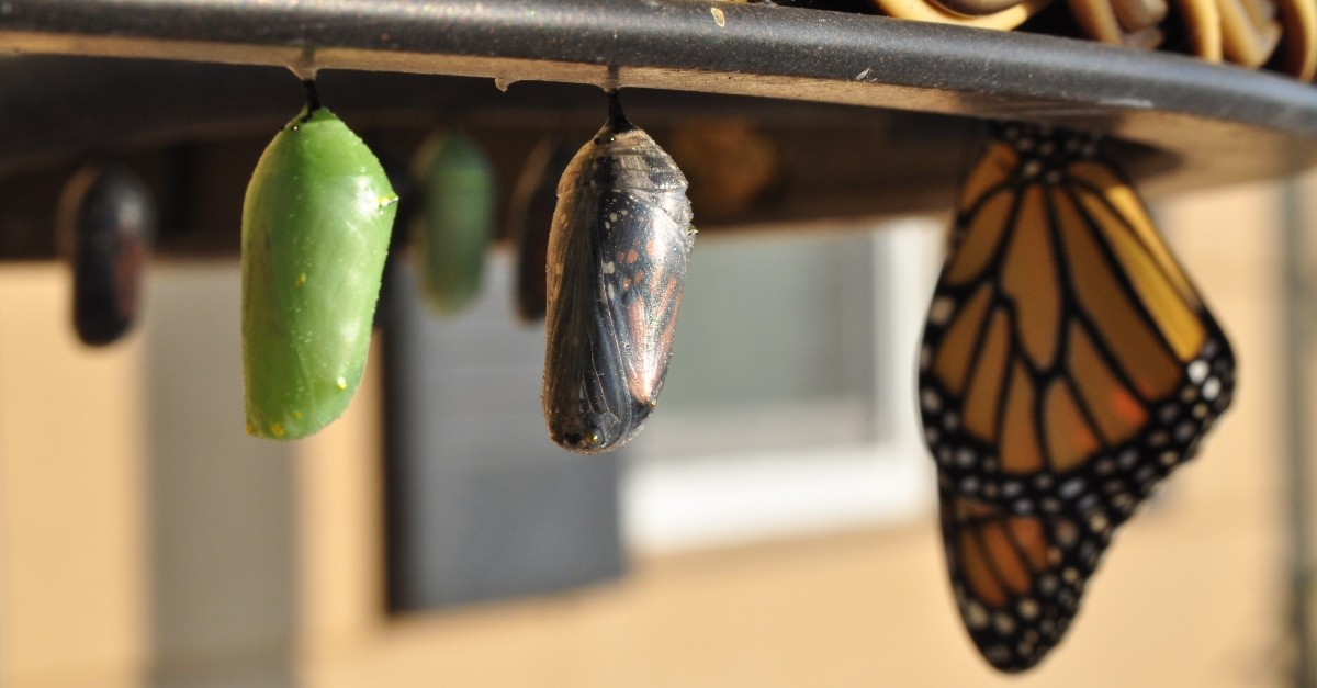 Caterpillar in a cocoon, becoming a butterfly