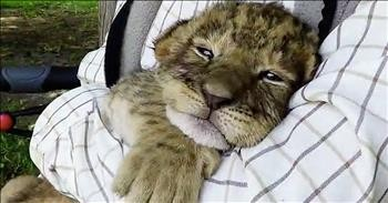 Baby Tiger Tries To Roar And It's An Adorable Fail