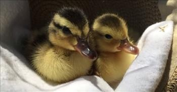 Sleepy Ducklings Adorably Fall Asleep