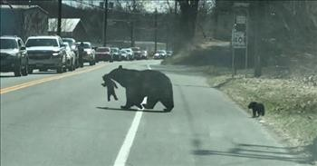 Mama Bear Helps Her Cubs Cross Busy Highway