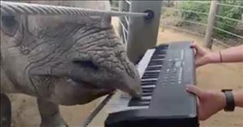 Rhino Celebrates Birthday By Playing The Piano