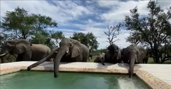 Herd Of Elephants Drink Water From A Swimming Pool