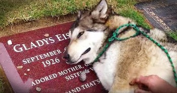 dog cries on owners grave