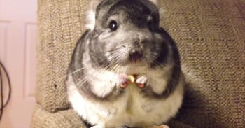 Apparently, This Chinchilla Was A Little Hungry  And It's Completely  ADORABLE! - Cute Videos