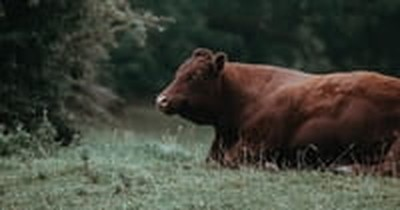 Jewish Group Says Biblical End Times Prophecy Fulfilled with Birth of 'Perfect' Red Cow