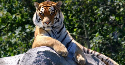Samaritan's Purse Gets Award from PETA for Rescuing Starving, Abandoned Tiger and Lion