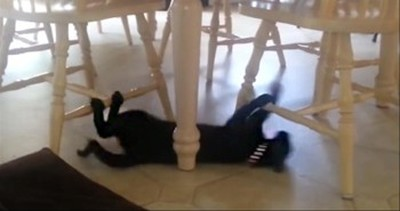 Funny Cat Uses Chairs as Monkey Bars to Slide on the Floor