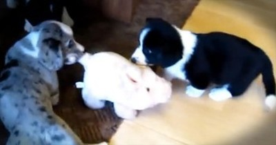 Welsh Corgi Pups Moonlight As 'Herders'