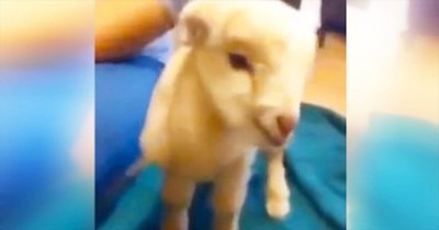 This Baby Goat Gives It All He's Got – And It's Completely Adorable!