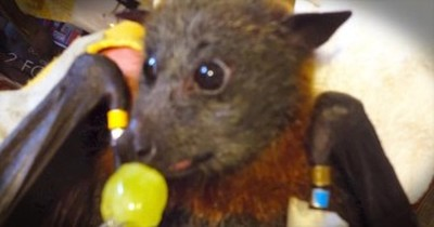 Charlie The Bat Sure LOVES His Grapes – This Is ULTRA Cute!