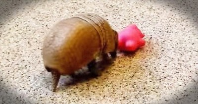 I Think Armadillos Just Became My FAVORITE Animal - So Stinking Adorable!
