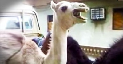 I Never Knew Camels Giggled Before THIS. And Now It May Just Be One Of My Favorite Sounds. LOL!