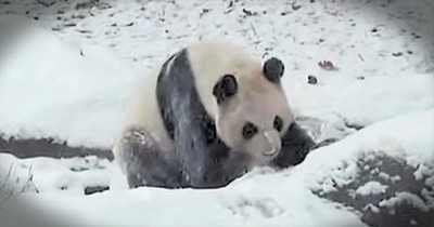Playful Giant Panda Has A BALL Rolling In The Snow. Cute!