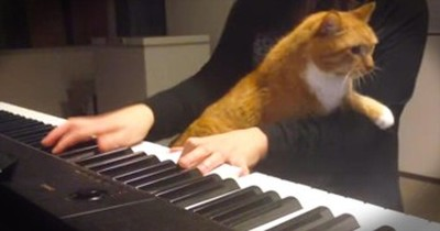 Cute Kitty Snuggles On Owner's Lap As She Tries To Play Piano