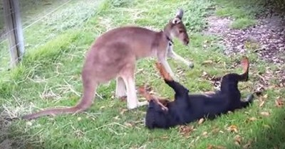 Kangaroo And Rottweiler Enjoy An Adorable Play Date