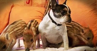 Dog 'Adopts' Orphaned Piglets