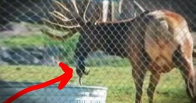 Elk Saves Drowning Marmot