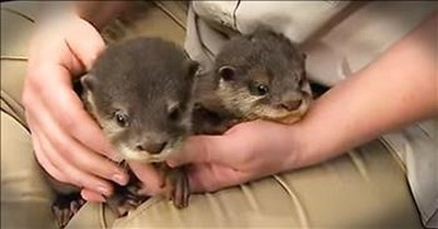 Energetic Baby Otters Have Fun At The News Station