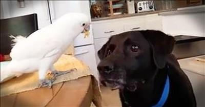 Cockatoo Helps Feed Dog Best Friend