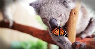 Precious Koala And Butterfly Become Best Friends