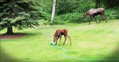 Neighbors Set Up Sprinkler For A Baby Moose To Play In