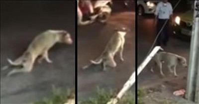 Clever Pup Fakes Injury And Stops Traffic