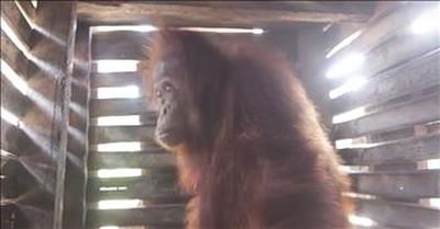 Orangutan Locked In A Box Is Set Free
